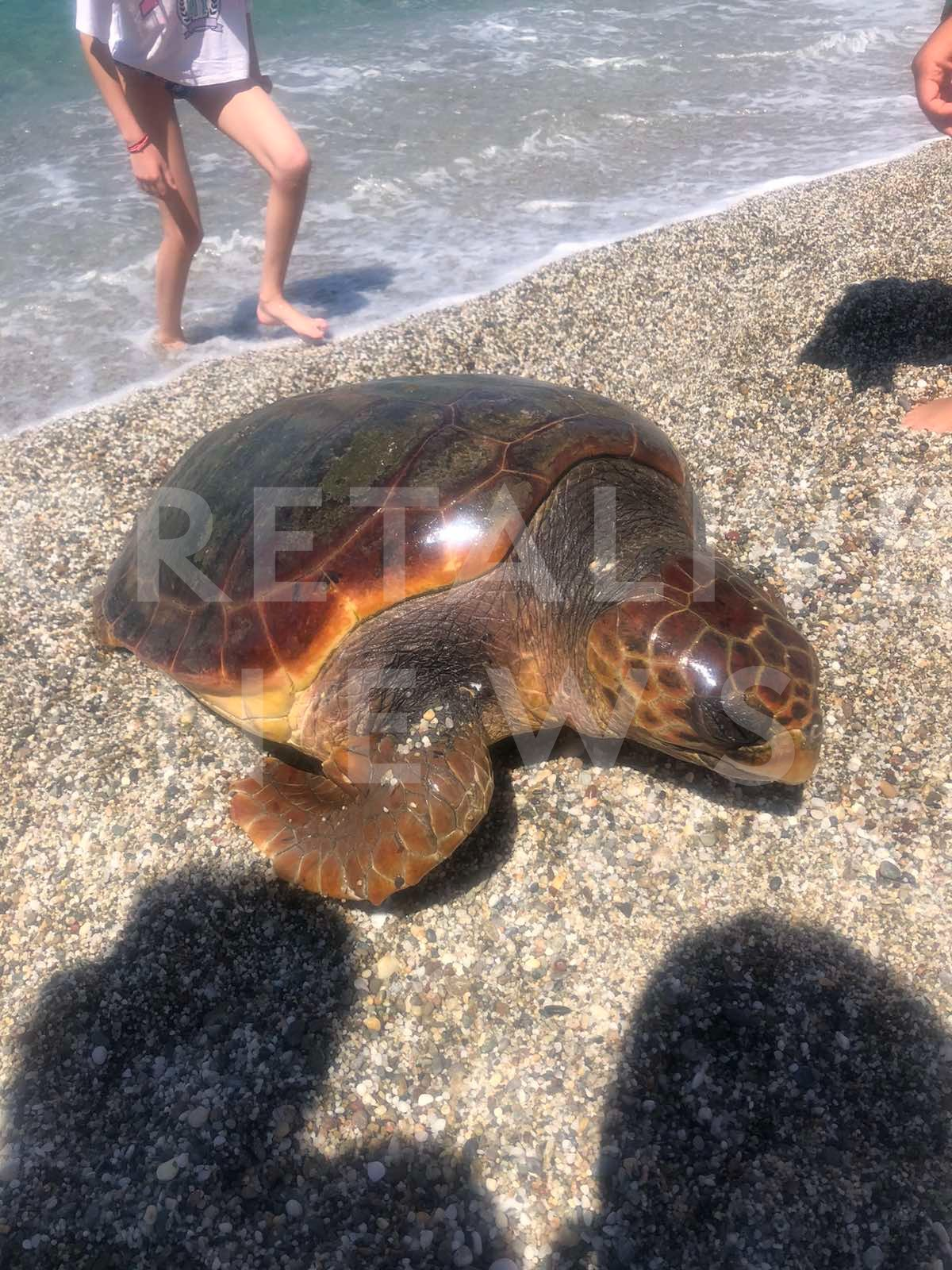 νεκρή χελώνα Δαμνόνι