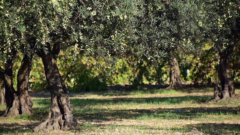 Στα 80 εκατ. ευρώ η ζημιά στην ελαιοπαραγωγή της Κρήτης το 2019